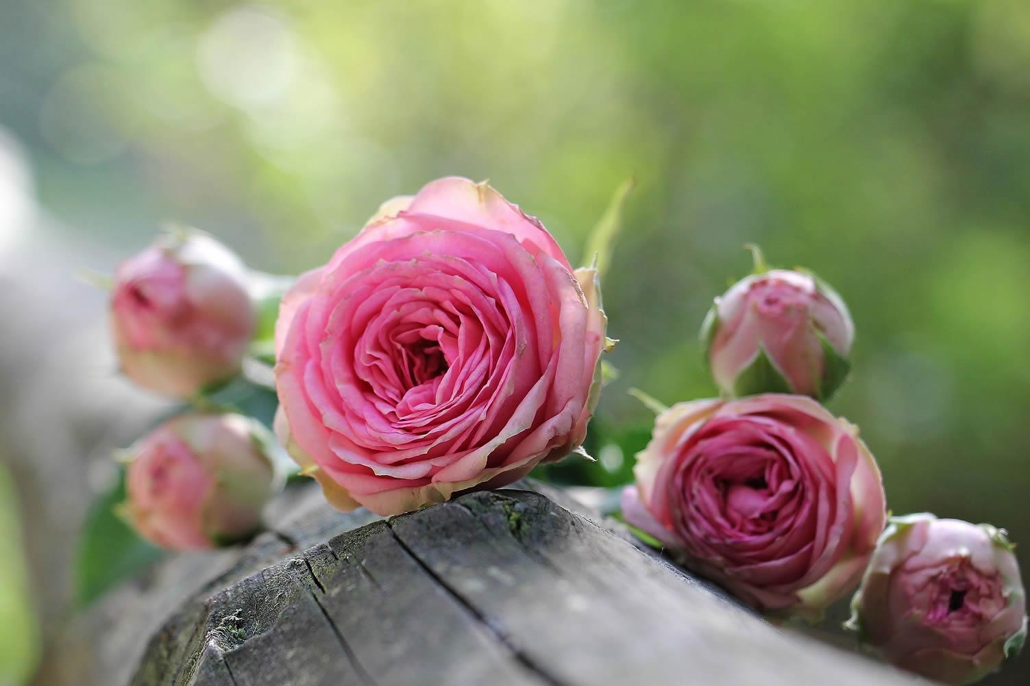 rose post