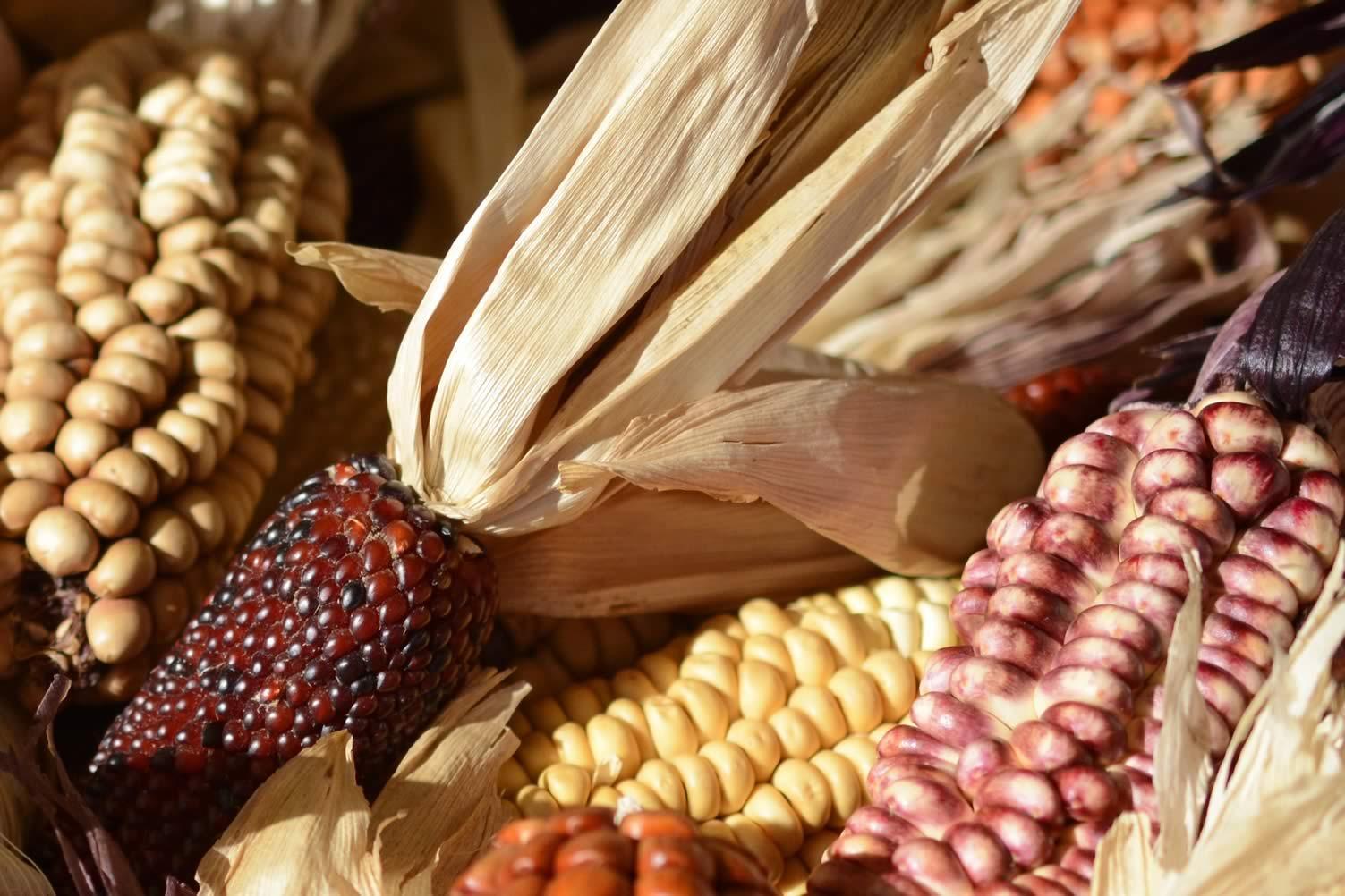 corn autumn decor