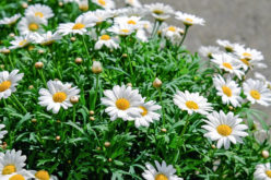 <span>summer landscaping (sunny flowers) &#8211; the&nbsp;&nbsp;&nbsp;&nbsp;&nbsp;</span>White Shasta Daisy