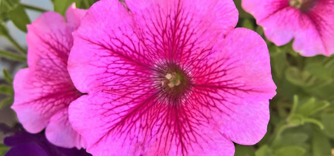 <span>summer landscaping (sunny flowers) –      </span>Petunia