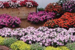 <span>summer landscaping (sunny flowers) – the     </span>Sunpatiens