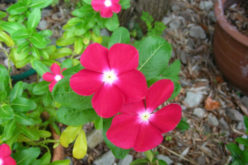 <span>summer landscaping (sunny flowers) –      </span>Vinca