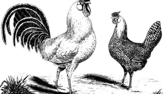 Cooking With Chicken – One of the Favorites for Best Consumption