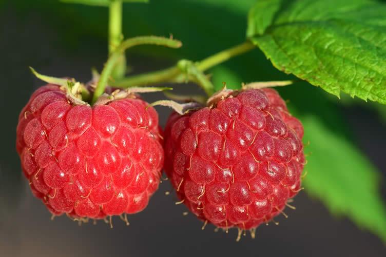 raspberry orchard