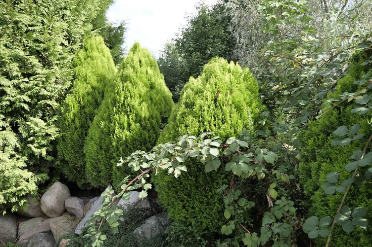 decorativeshrub