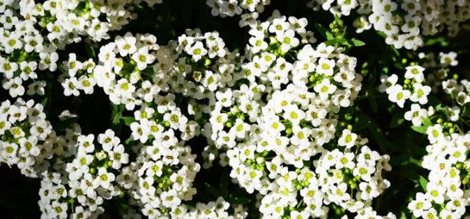 <span>landscaping (annual flowers) – </span>Alyssum