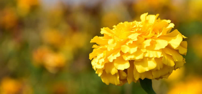 <span>landscaping (annual flowers) –      </span>Marigold Flowers That Bloom in Summer