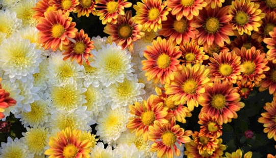 <span>landscaping (annual flowers) – </span>Chrysanthemum – Known As The Hardy Mum