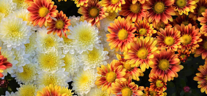 <span>landscaping (annual flowers) –      </span>Chrysanthemum – Known As The Hardy Mum
