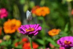 <span>landscaping (annual flowers) – </span>Zinna
