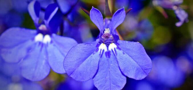 <span>landscaping (annual flowers) – </span>Lobelia