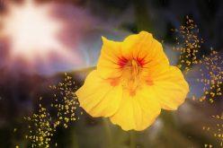 <span>landscaping (annual flowers) – </span>Nasturtium