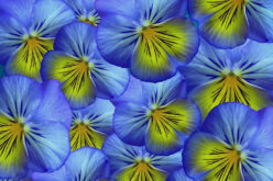 <span>landscaping (annual flowers) –      </span>Pansy