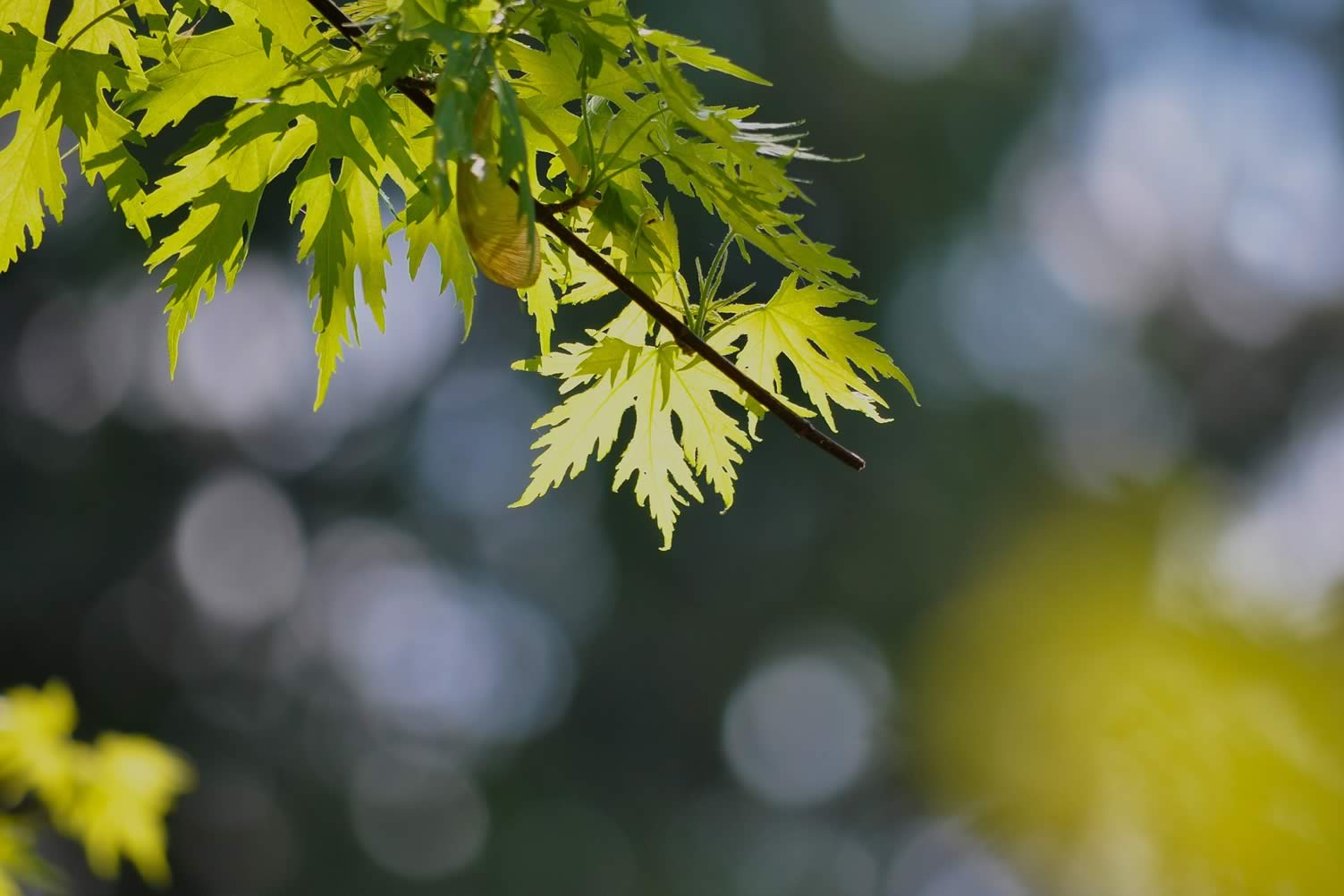 types of maple trees